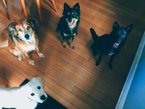 Why your dog has evolved to love you
