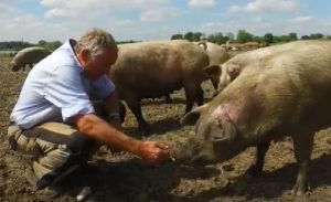 Simon Watchorn and his pigs