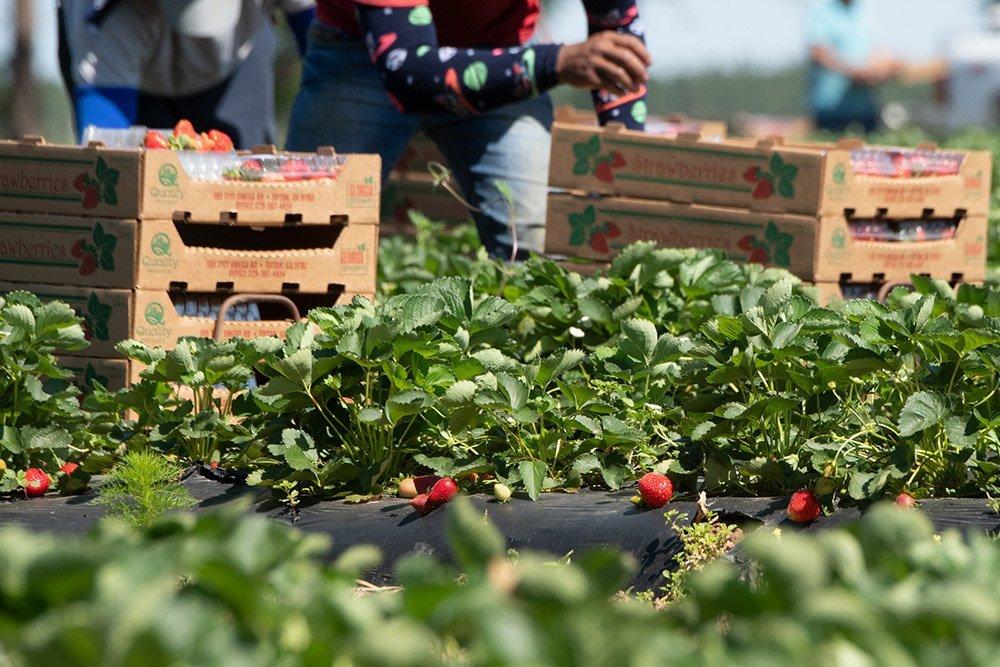 Post Brexit migrant farmworker shortage