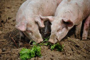 Butcher shortage pig cull
